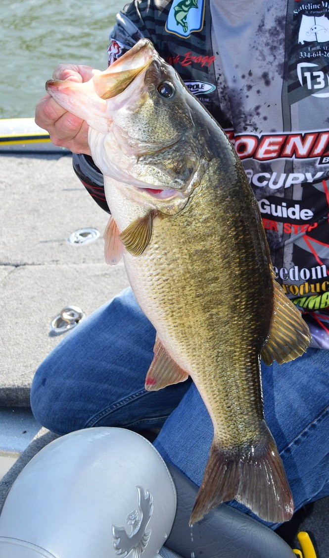 Anglers are hopeful that increased stocking of Florida-strain largemouths in Lake Jordan will result in more fish like this one in the years ahead.