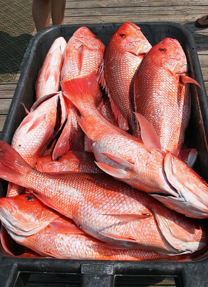 Alabama's coastal waters are loaded with red snapper, and the summer season draws anglers from all over the state to the Gulf Coast to take part in the bounty.