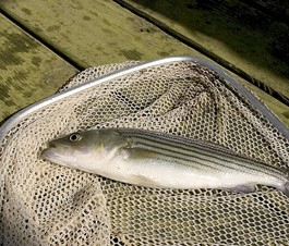 Stripers were recently restocked into Weiss Lake and the Coosa River in a joint effort with Georgia DNR.