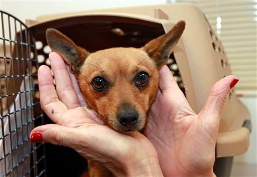 Chihuahuas take wing in coast-to-coast rescue drive - al.com