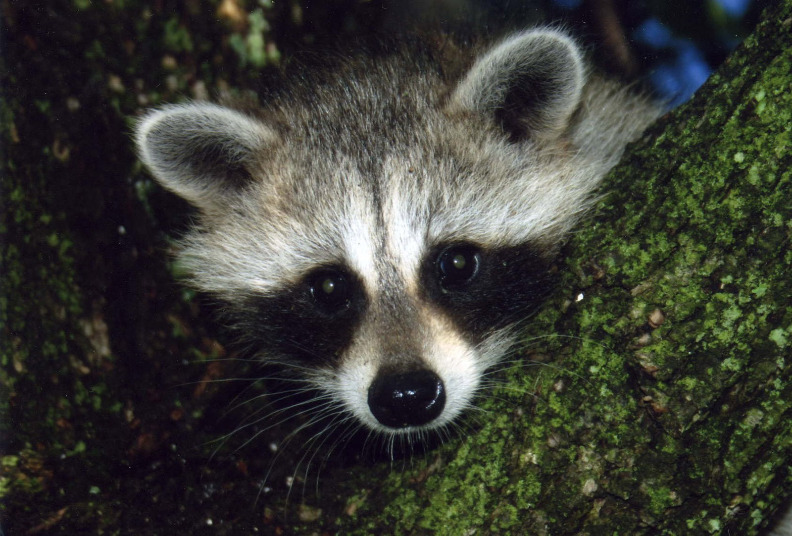 Alabama ending rehab of baby raccoons, other animals - al.com on retirement home, websites for iowa modular home, sheetrock installation home,