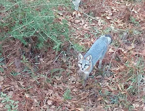 This little fox looks nice enough, but his rabid friends are roaming a quiet little Alabama town.