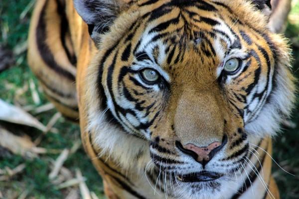 18-year-old Tiger 'Kumar' dies at Birmingham Zoo - al com