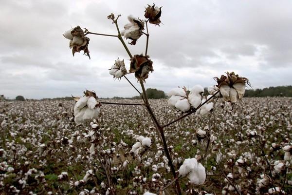 Cotton fields in Baldwin County.
