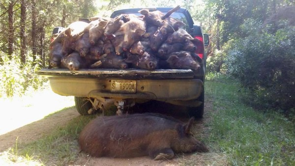 Biologists from the Alabama Wildlife and Freshwater Fisheries Division load up carcasses of feral swine removed from state Wildlife Management Areas during control operations. The invasive wild pigs cause millions of dollars in property and wildlife damages every year in Alabama.