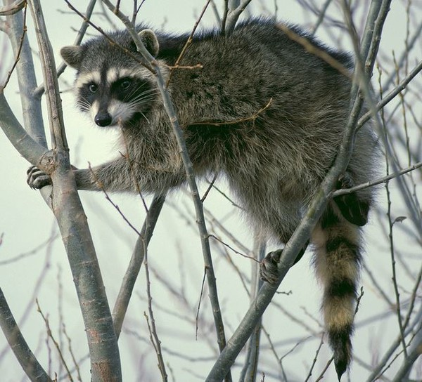 Trash Panda, a slang word for raccoon, was selected as the name for North Alabama's new baseball team.