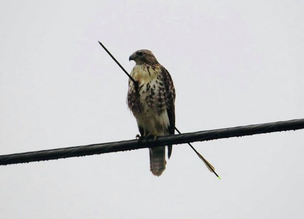 The Alabama Wildlife and Freshwater Fisheries Division is looking for info to find the person who shot an arrow through a Red-tailed Hawk. Rescue efforts for the bird are continuing today. (Contributed photo/AWFFD)