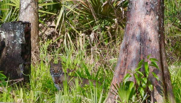 This bobcat, about 40 pounds, was seen creeping around on an island next to Oak Leaf Bayou. The cats are common, though seldom seen, all over Alabama. This one has almost certainly lived its entire life on and around the island where it was spotted.