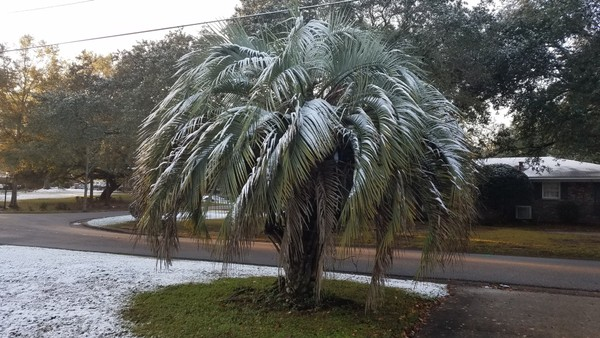 Snow decorates the branches of a palm tree in Mobile the morning after a late night snowfall on December 8, 2017.