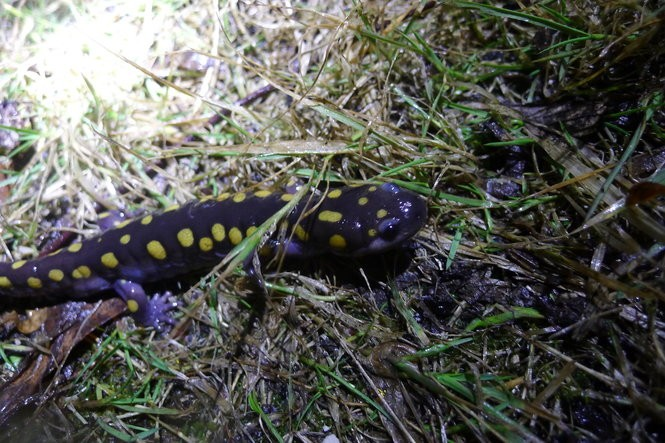 Spotted salamanders and other creatures only journey to breeding pools at night when it's 50 degrees or warmer, and it has rained all day, continuing into the night.