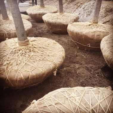 Gingko trees were prepared for planting during the renovation of Public Square. They've been planted since this photo was taken.