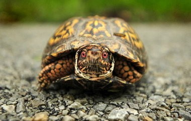 Turtles will be featured on the next Wildlife Legacy Stamp.