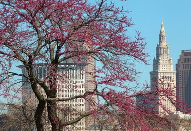 Spring blossoms against the Cleveland skyline, as seen from the Near West Side.