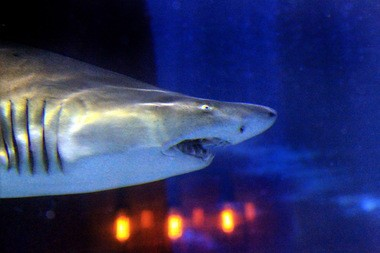 One of the sharks explores the 230,000-gallon exhibit at the Greater Cleveland Aquarium in the Flats. Admission to the aquarium is free for Dads on Father's Day.