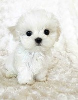 This is a picture of one of the puppies shown on the suspicious website.