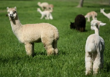 Alpacas stay attentive to visitors in the fields at Magical Farms in Litchfield in May 2009. The alpaca on the left still has its fleece, while the others have been sheared. The farm has the largest herd of huacaya alpacas in the U.S.
