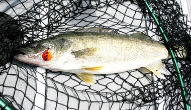 """A trophy Lake Erie walleye fell head over tail for a spinner harness and nightcrawler that featured a """"burnt shrimp"""" blade colored in orange and charcoal."""