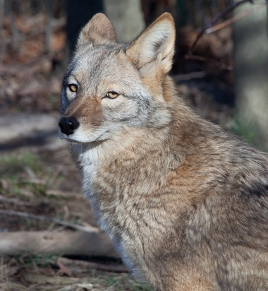 Coyotes are wily predator and part of the wildlife scene in every