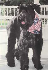 Maddie is considered small for a Giant Schnauzer, the result of becoming malnourished.