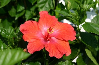 Hardy Hibiscus Brings Tropical Color And Huge Flowers To Local