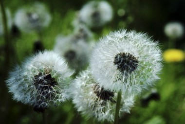 "Dandelions got their English name from a corruption of the French Dent-de-lion, meaning ""lion's tooth,"" because of the plant's coarsely toothed leaves."