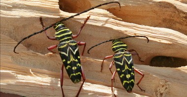 This is the time of year when you may see painted hickory borer beetles near your home.