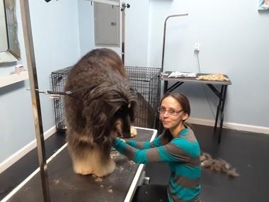 Amanda Bowers grooms Afghan hound Bentley.