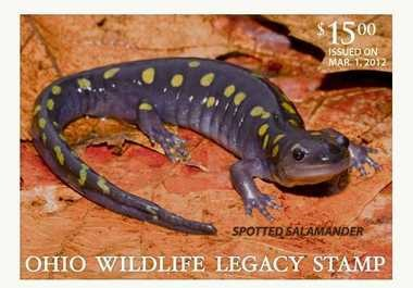 A spotted salamander graces the 2012 Ohio Wildlife Legacy Stamp.