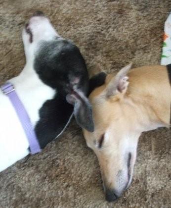Freedom Greyhound Rescue hosts a pancake breakfast and dog walk June 30.