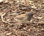 The Oregon race of the dark-eyed junco sometimes ventures into NE Ohio.