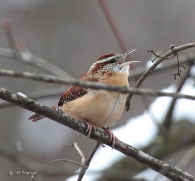 Carolina wrens are becoming increasingly common in Northeast Ohio during the winter due to backyard feeders and warmer temperatures.