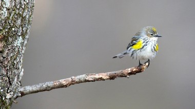 Yellow-rumped warblers are growing in numbers, according to Project FeederWatch data.