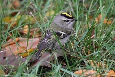 Golden-crowned kinglets arrived in large numbers to downtown Detroit green spaces last week.
