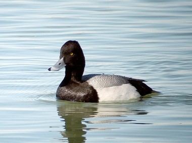 Greater scaup were present in large numbers on the River Rouge and in the wetlands of Belle Isle on the Detroit River.