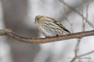 Pine siskins have arrived in Northeast Ohio from their boreal breeding grounds, and a half-dozen were at my thistle feeders on Friday.