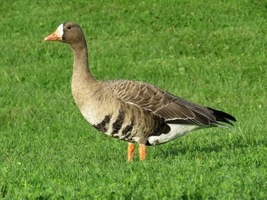 1139dc90244 Flocks of rare geese inspire NE Ohio birders to venture far and wide ...