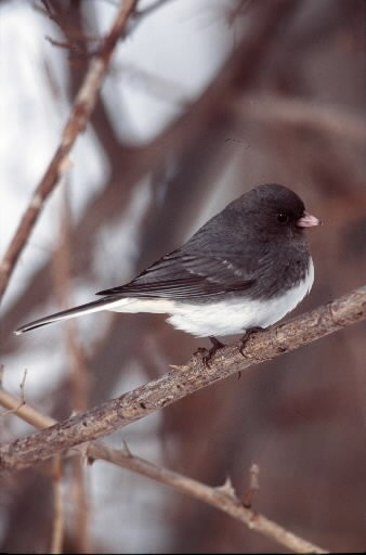 In Northeast Ohio, dark-eyed juncos nest at Virginia Kendall Park in Summit County and at the Holden Arboretum in Lake County.