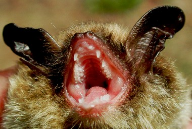 If the northern long-eared bat is listed as endangered, as proposed by the federal government, then industries and local governments that work in areas with trees, caves and mines might have to make sure they don't harm or disrupt the species.