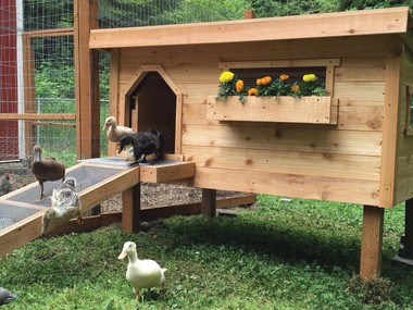Homeowners who are interested in raising back yard animals may be interested in reading about several species, including ducks.