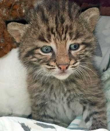 Bobcat Orphans Getting Care At The Wildlife Center In Kirtland