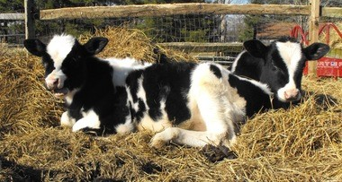 Calves recover from starvation at Happy Trails Farm Animal Sanctuary in Ravenna.