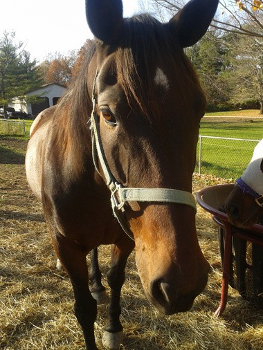 Princeton, 19, is retired from life as an Amish buggy horse and ready for adoption.