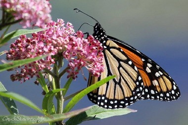 Monarchs such as this one, feeding on swamp milkweed, migrate up to 3,000 in the fall to Florida or Mexico.