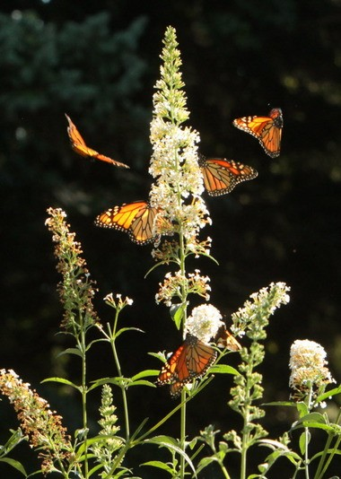 Monarchs relish the nectar of butterfly bush, such as at the Perry Township home of Lake MetroParks naturalist John Pogacnik.