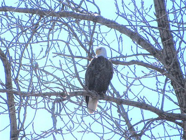 A bald eagle perches near its nest Tuesday in the Ohio & Erie Canal Reservation. The eagle nest is the first in Cleveland in more than a century.