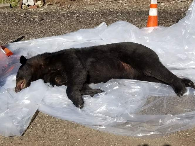 The bear was 225 pounds and probably about four years old, according to the Ohio Division of Wildlife.