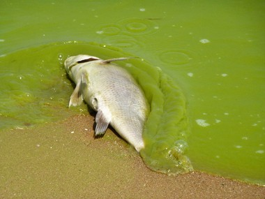 In this photo from August 2011, algae coats a fish washed onto the shore of Pelee Island, which lies in the lake's western basin.