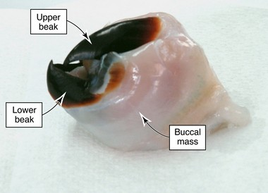 This photo shows the parts of a beak removed from the Humboldt squid, Dosidicus gigas.