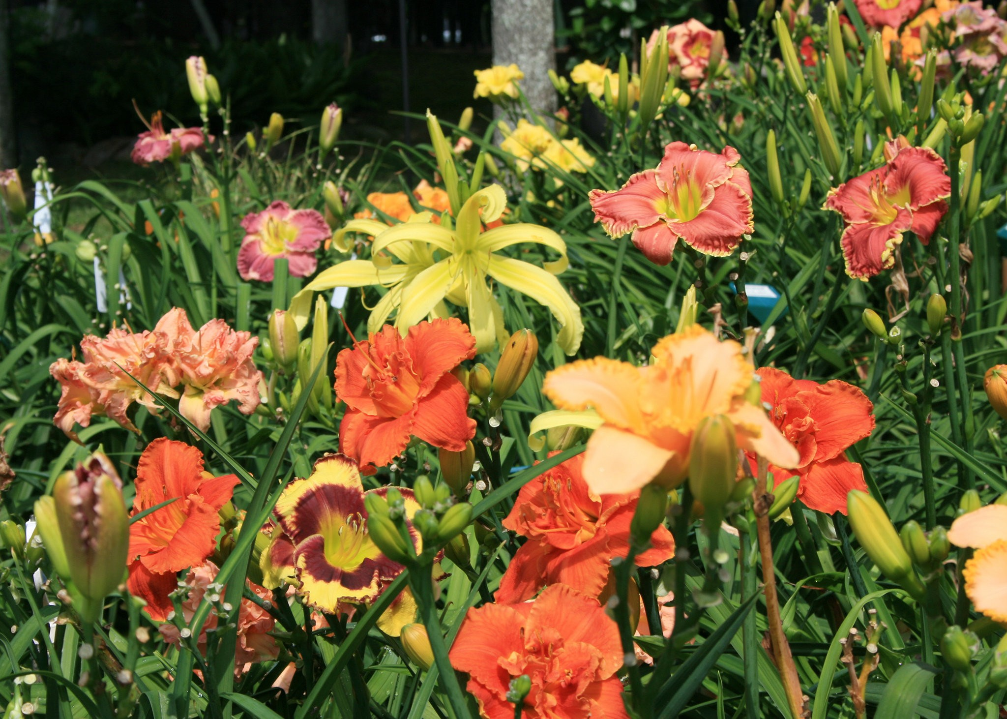 Southern Gardening Daylilies Are Excellent Landscape Performers