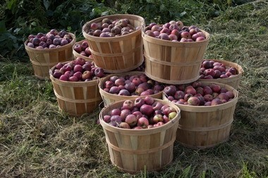 Rodale Insitute will host its Organic Apple Festival Saturday at its Kutztown orchard.